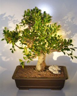 Bonsai Ficus Trees - Retusa  (ficus retusa)