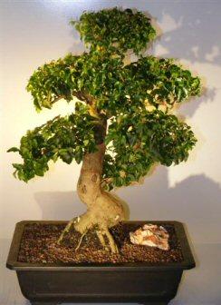 Flowering Ligustrum Bonsai Tree Ligustrum Lucidum