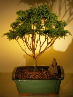 Blue Moss Cypress Bonsai Tree   (chamecyparis glauca minima)