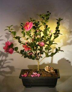 Flowering Camellia Bonsai Tree Camellia Sasanqua Yuletide
