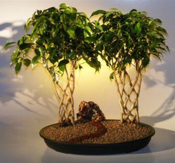 ficus trellis bonsai tree double tree planting ficus. Black Bedroom Furniture Sets. Home Design Ideas