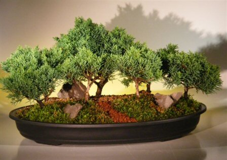 Shimpaku Juniper Bonsai Treeseven 7 Tree Forest Group Juniperus Chinensis
