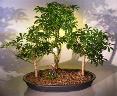 Hawaiian Umbrella Bonsai Tree - Golf Group Scene (Arboricola Schefflera)