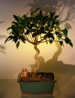 Oriental Ficus Bonsai Tree (Coiled Trunk) (benjamina 'orientalis')