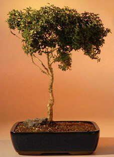 Japanese Kingsville Boxwood - 16