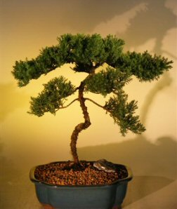 Juniper Bonsai Tree  (juniper procumbens nana)