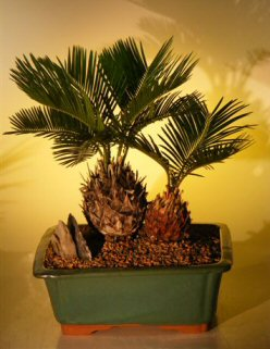 Sago Palm Bonsai Tree - Double Planting (cycas revoluta)