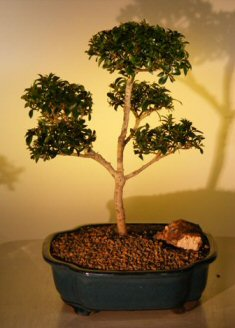 "Flowering Brush Cherry - ""POM-POM"" Style Bonsai Tree (Eugenia Myrtifolia)"
