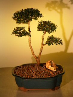 "Flowering Brush Cherry - """"POM-POM"""" Style Bonsai Tree  (Eugenia Myrtifolia)"" k3261"