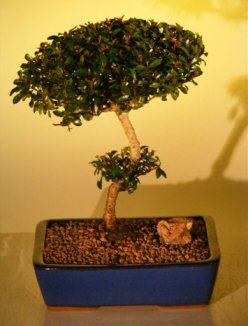 "Flowering Brush Cherry - """"POM-POM"""" Style Bonsai Tree  (Eugenia Myrtifolia)"" k3263"