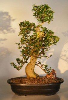 Flowering Fukien Tea Bonsai Tree (pithecellobium tortum)