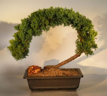 Juniper Bonsai Tree Juniper Procumbens Nana