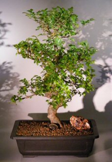 Chinese Elm Bonsai Tree (ulmus parvifolia)