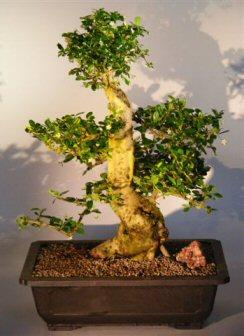 Flowering Fukien Tea Bonsai Tree (ehretia microphylla)