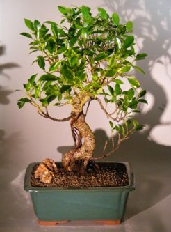 Ficus Retusa Bonsai Tree