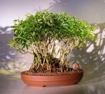 Hawaiian Umbrella Bonsai Tree Banyan Style Arboricola Schefflera