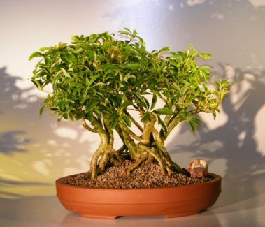 Hawaiian Umbrella Bonsai Tree - Banyan Style ( arboricola schefflera )