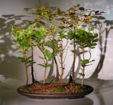 Copper Beech 7 Tree Forest Group Fagus Sylvatica Purpurea Bonsai Trees Tools