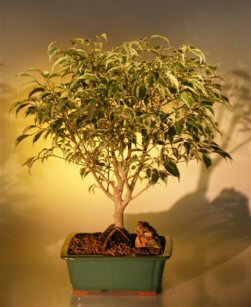 Ficus Bonsai Tree Multi Trunk Style (ficus benjamina variegated)