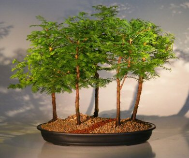 Dawn Redwood Bonsai Tree 5 Tree Forest Group Metasequoia Glyptostroboides