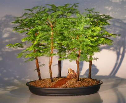 Dawn Redwood Bonsai Tree 5 Tree Forest Group Metasequoia Glyptostroboides