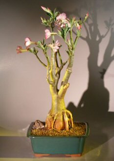 Flowering Desert Rose Bonsai Tree (Adenium Obesum)