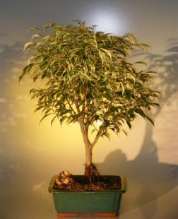 Ficus Bonsai Tree - Variegated (ficus benjamina)