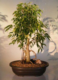 """Ficus Bonsai Tree Banyan Style (ficus benjamina """"oriental"""")"""