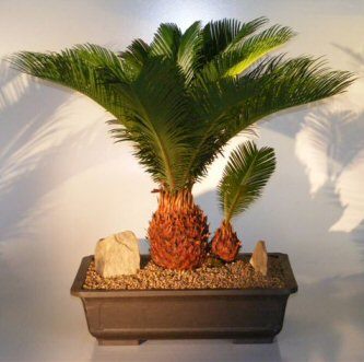 Sago Palm Bonsai Tree - With Baby  (cycas revoluta)