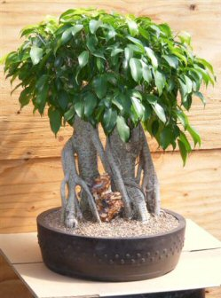ficus bonsai tree banyan style ficus benjamina. Black Bedroom Furniture Sets. Home Design Ideas