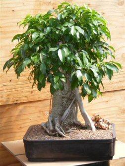 Ficus Bonsai Tree - Banyan Style (ficus benjamina )