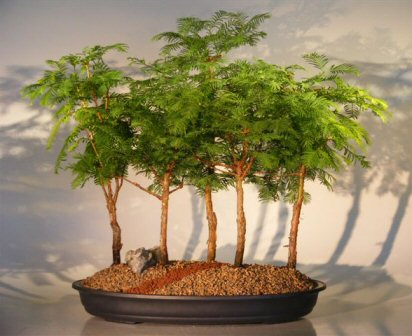 Redwood Bonsai Tree - 5 (Five) Tree Forest Group (metasequoia  glyptostroboides)