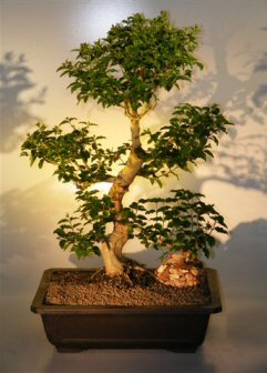 Flowering Ligustrum Bonsai Tree  (ligustrum lucidum)