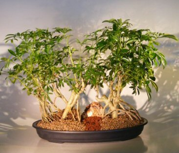 Hawaiian Umbrella Bonsai Tree Banyan Style - Double Planting ( arboricola schefflera )