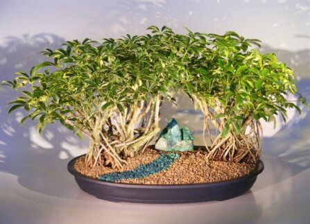 Variegated Hawaiian Umbrella Bonsai Tree  Banyan Style - Double Planting  ( arboricola schefflera )