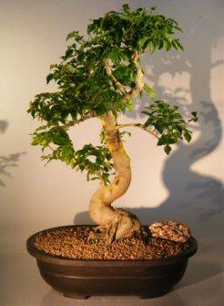 Flowering Ligustrum Bonsai Tree (ligustrum lucidum)