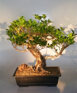 Ficus Retusa Bonsai Tree With Banyan Roots (ficus retusa)
