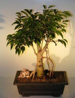 Oriental Ficus  Bonsai Tree   Banyan Style  (benjamina