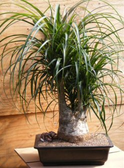 Pony Tail Palm Bonsai Tree (beaucamea recurvata)