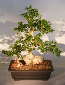 Flowering Fukien Tea Bonsai Tree (ehretia microphylla)