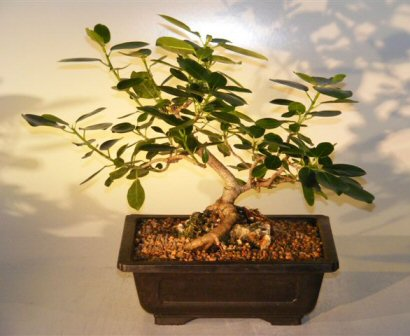 Ficus Bonsai Tree - Root Over Rock (ficus natalensis)