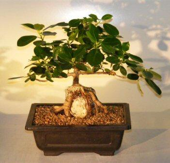 Ficus Bonsai Tree Root Over Rock Ficus Natalensis