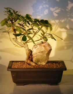 Ficus Bonsai Tree - With Rock (ficus natalensis)