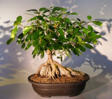 Ficus Bonsai Tree Root Over Rock Ficus Natalensis