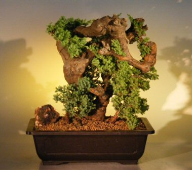 Juniper Bonsai Tree - Phoenix Graft  (juniper procumbens nana)