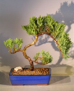 Juniper Bonsai Tree  (juniper procumbens 'nana')