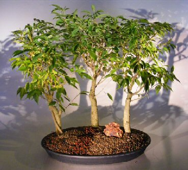 Oriental Ficus Bonsai - 3 Tree Group (ficus benjamina 'orientalis')