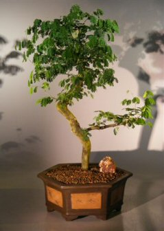 Flowering Brazilian Raintree Bonsai Tree (pithecellobium tortum)