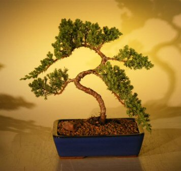 Juniper Bonsai Tree (juniper procumbens 'nana'