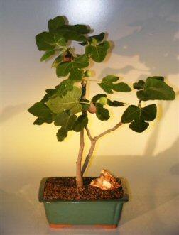 Brown Turkey Fig Ficus Carica